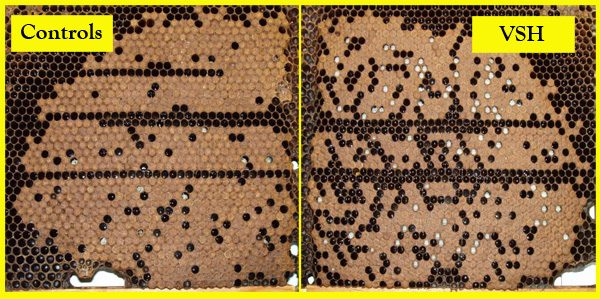 Comparison of mite-infested brood that had been exposed to VSH bees or controls for 24 hours. Uncapped pupae appear as white dots in this photo.