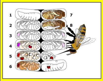 Some factors that influence the degree of varroa sensitive hygiene in colonies of bees include age and genetics of worker bees, age and type of brood, and infestation level of mites in capped brood.